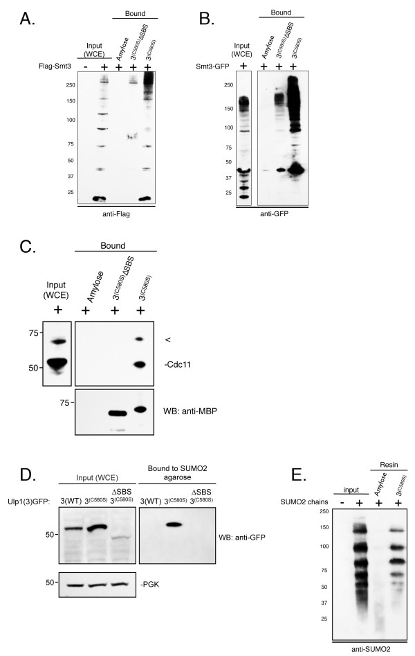 The Ulp1(3) (C580S) truncation binds SUMO and SUMO-modified proteins . (A) and (B) Immobilized Ulp1(3) (C580S) was analyzed for its ability to affinity-purify Smt3 from yeast whole-cell extracts (WCEs). WCEs containing FLAG-tagged Smt3 (YOK 428) (left) or GFP-Smt3 (YOK 1857) (right) (input) were prepared under nondenaturing conditions and incubated with immobilized maltose-binding protein (MBP)-Ulp1(3) (C580S) (3 (C580S) ), MBP-Ulp1(3) (C580S) lacking the small ubiquitin-like modifier (SUMO)-binding surface (3 (C580S) ΔSBS) or unbound resin (amylose). After washing and elution, bound Smt3 and Smt3 conjugates were detected using either anti-Flag or anti-GFP antibody. (C) Immobilized Ulp1(3) (C580S) was analyzed for its ability to affinity-purify Cdc11 from yeast WCEs. WCE containing GFP-Smt3 (YOK 1857) was prepared under nondenaturing conditions and incubated with immobilized MBP-Ulp1(3) (C580S) , MBP-Ulp1(3) (C580S) lacking the SUMO-binding surface (3 (C580S) ΔSBS) or unbound resin (amylose). After washing and dilution, bound Cdc11 was detected using an anti-Cdc11 antibody (Santa Cruz Biotechnology). (D) WCEs from logarithmically growing yeast cells expressing GFP-tagged Ulp1(3), Ulp1(3) (C580S) and Ulp1(3) (C580S) ΔSBS (YOK 1839, YOK 1907, YOK 1903) (input) were prepared under nondenaturing conditions. Extracts were then incubated with SUMO2 immobilized on agarose beads (Boston Biochem). After washing and elution with sample buffer, bound proteins were detected using an anti-GFP antibody. (E) SUMO2 chains (Boston Biochem) were incubated with resin-bound MBP-Ulp1(3) (C580S) or unbound resin (amylose). After washing and elution with sample buffer, bound proteins were detected using an anti-SUMO2 antibody. SUMO2 chains loading control (input). Concentrations of immobilized MBP-Ulp1(3) (C580S) and MBP-Ulp1(3) (C580S) lacking the SUMO-binding surface (3 (C580S) ΔSBS) were confirmed by Coomassie staining of eluted proteins and quantitation on an Agilent 2100 Bioanalyzer 