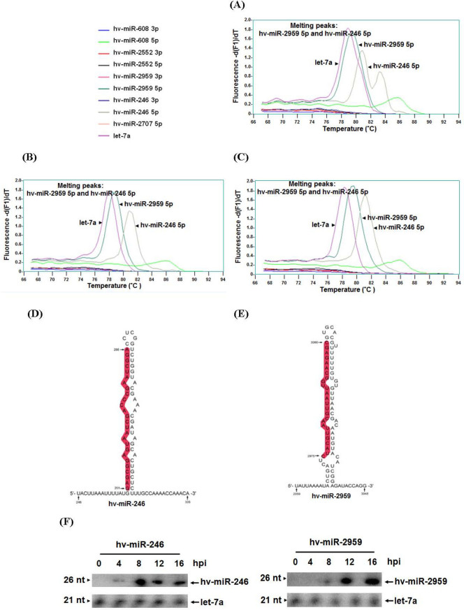 Cloning and analysis of the predicted miRNA by stem-loop PCR and northern blot. Stem-loop PCR was performed to clone and analyze the proper expression of the predicted miRNAs in (A) Hz NV-1 productively infected cells, (B) pag1 -transfected cells, and (C) Hz NV-1 latently infected cells. (D, E) Predicted secondary structures of hv-miR-246 5P (D), and hv-miR-2959 5p (E), precursors. (F) Small RNAs harvested from Hz NV-1 productively infected cells at various time points were analysis by northern blots with probes against predicted Hz NV-1 miRNAs (top panels) or let-7a miRNA as a positive control (bottom panels).
