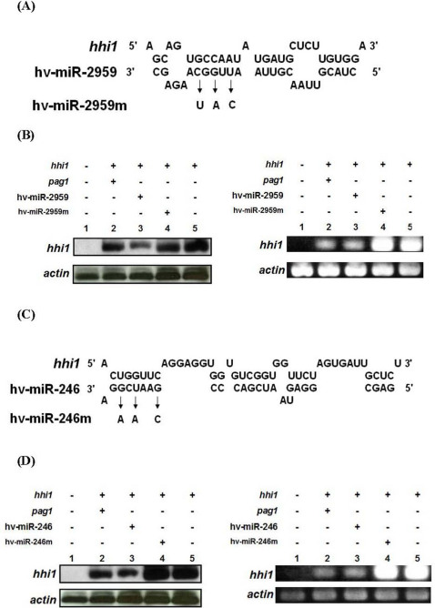 Down-regulation of hhi1 expression by pag1 , hv-miR-246, and hv-miR-2959. (A, C) sequences of hv-miR-2959 and hv-miR-246 were shown, and miRNAs with mutations were denoted as hv-miR-246m and hv-miR-2959m, separately. (B, D) levels of hhi1 transcript in various treatments were analyzed by northern hybridization (left panel) and RT-PCR (right panel).