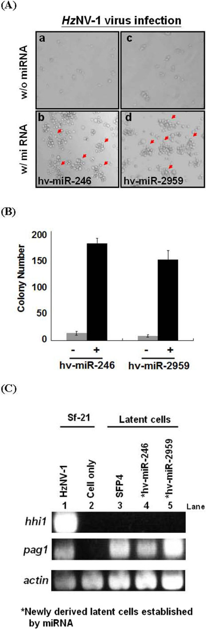 Establishment of latent viral infection by miRNAs. (A) Sf21 cells were transfected with or without miRNA followed by Hz NV-1 infection. (B) Column representation of the results of panel (A). (C) Confirmation of hhi1 and pag1 expressions in various cells by RT-PCR.