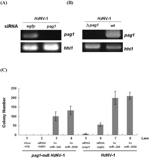Suppression of Hz NV-1 viral latency by knocking down pag1 expression. (A) RT-PCR showed that artificial siRNA can efficiently suppress pag1 expression in Hz NV-1 infected cells. (B) pag1 expression is not detectable by RT-PCR in the pag1 -null Hz NV-1-infected cells. (C) Formation of latent colony is not observed by the infection of pag1 -null Hz NV-1.