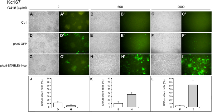 pAc5-STABLE1-Neo confers G418 resistance in Kc167 cells. (A–I) Bright field images of Drosophila Kc167 cells that were mock-transfected (A–C), transfected with pAc5-GFP (D–F) or transfected with pAc5-STABLE1-Neo (G–I). Three days after transfection, G418 was added to the media at concentrations of 0 (A, D, G), 600 (B, E, H) or 2000 μg/ml (C, F, I). (A'–I') Fluorescent images of the same cells from panels A to I showing GFP expression. (J–L) Percentage of cells that are positive for GFP. Letters correspond to panels/treatments directly above each graph. All images were taken after 30 days of treatment with G418.
