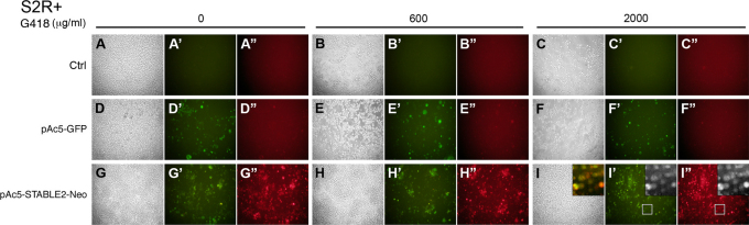 """Expression of two different proteins as well as a selectable marker from a single vector in Drosophila cultured cells. (A–I) Brightfield images of Drosophila S2R+ cells that were mock-transfected (Ctrl; A–C), transfected with pAc5-GFP (D–F) or transfected with pAc5-STABLE2-Neo (G–I). Three days after transfection, G418 was added to the media at concentrations of 0 (A, D, G), 600 (B, E, H) or 2000 μg/ml (C, F, I). Fluorescent images of the same cells from panels A–I showing GFP expression (A'–I') or FLAG-mCherry expression (A""""–I""""). White boxes mark zoomed region shown in inset (panel I, overlay). All images were taken after 30 days of treatment with G418."""