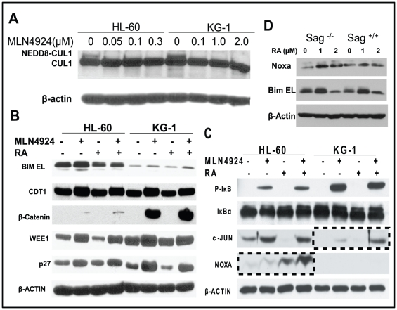 Induction of SAG-SCF E3 ligase substrates by RA and/or MLN4924. Cells were treated with indicated concentrations of MLN4924 for 24 hrs, followed by immunoblotting using cullin-1 antibody with β-actin as the loading control ( A ). Cells were treated with RA (1.5 µM), MLN4924 (0.1 µM for HL-60, 1.0 µM for KG-1) alone or in combination for 24 hrs, followed by immunoblotting using indicated antiobodies ( B C ). mES cells were treated with RA at indicated concentrations for 24 hrs, followed by immunoblotting using NOXA antibody with β-actin as the loading control ( D ).