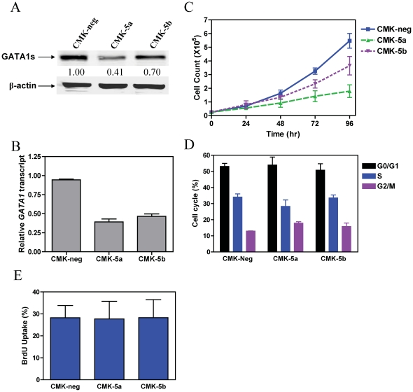 Down-regulation of GATA1s in CMK cells results in impaired cell proliferation. Expression of GATA1s in two selected subclones, CMK-5a and -5b, in comparison to the negative control (CMK-neg) was verified by Western blotting ( panel A ) and real-time RT-PCR ( panel B ). The real-time RT-PCR results were expressed as mean values ± standard errors from 3 independent experiments using the same cDNA preparation and normalized to GAPDH. To establish the doubling times for each shRNA subclone, the CMK-5a, -5b, and –neg sublines were seeded at 2.5×10 4 cells/ml and counted every 24 h with trypan blue staining ( panel C ). Cell cycle progression in the CMK-5a, -5b, and –neg sublines was assessed by PI staining and flow cytometry analysis, as described in the Materials and Methods ( panel D ). DNA content was also assessed in the CMK-5a, -5b, and –neg sublines by incorporating BrdU into DNA and flow cytometry analysis as described in the Materials and Methods ( panel E ).