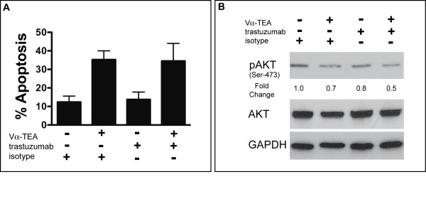 Mechanism of α-TEA and trastuzumab-mediated tumor cell inhibition . (A) MDA-MB-453 tumor cells were treated with Vα-TEA and trastuzumab (or isotype antibody) for 72 hours. Cells were collected and analyzed for apoptosis by PE-Annexin-V stain. Mean frequency ± SD of apoptotic cells (PE-Annexin-V positive) is shown from three independent experiments. (B) MDA-MB-453 tumor cells were treated with Vα-TEA and trastuzumab (or isotype antibody) for 24 hours. Phosphorylated-(Ser473)-AKT, total AKT and GAPDH levels were determined by western immunoblotting. Numbers indicate fold-change over untreated (isotype-treated) cells.