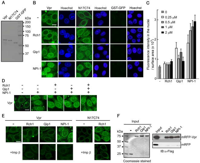 Importin α5/NPI-1 preferentially mediates the nuclear import of Vpr. (A) Twenty-five pmol of purified recombinant GST- and GFP-tagged Vpr (Vpr), GST- and GFP- tagged Vpr N17C74 (N17C74), GST-tagged GFP (GST-GFP) were resolved by 10% SDS-PAGE and stained with Coomassie brilliant blue (CBB). (B) Nuclear import of Vpr by importin α (Impα) isoforms. Digitonin-permeabilized HeLa cells were incubated with 1 µM of Vpr, N17C74, and GST-GFP in the absence (-) or presence of 1 µM (for Vpr and GST-GFP) or 3 µM (for N17C74) of each of the recombinant Impα isoforms, Rch1, Qip1 and NPI-1. Cells were fixed in 3.7% formaldehyde and stained with Hoechst 33342 to show the position of the nucleus (right panel). After fixation, cells were analyzed by confocal laser scanning microscopy. Bar = 10 µm. (C) Fluorescence intensity of Vpr per surface area was quantified for at least 70 nuclei in the presence of the indicated concentrations of the Impα isoforms from three independent experiments. The bar shows the standard errors of measurements. (D) In vitro nuclear import assay for GST-GFP-Vpr was performed in the absence (-) or presence of 1 µM of the Impα isoforms. After fixation, cells were analyzed by confocal microscopy. Bar = 10 µm. (E) In vitro nuclear import assay for Vpr was performed in the absence (-) or presence of 1 µM of the Impα isoforms, and 1 µM of Impα isoforms with 1 µM Impβ. N17C74, as a control, was performed with 1 µM of Rch1 and 1 µM Impβ. After fixation, cells were analyzed by confocal microscopy. Bar = 10 µm. (F) Binding assay between Vpr and the Impα isoforms. Glutathione-Sepharose beads were coupled with the GST-Impα isoforms, Rch1, Qip1 and NPI-1 or GST alone, and were incubated with Vpr protein purified from 293T cells transfected with pCAGGS mammalian vectors encoding Flag-mRFP (mRFP), or Flag-mRFP-Flag-Vpr (mRFP-Vpr). The bound fractions and 1/20 of the input of mRFP-Vpr and mRFP were analyzed by immunoblotting with an anti-Flag M2 monoclonal antibody (MAb) (right panel). Twenty-five pmol of GST or GST-Impα isoforms were resolved by 10% SDS-PAGE and stained with CBB (left panel). The positions of mRFP and mRFP-Vpr are indicated.