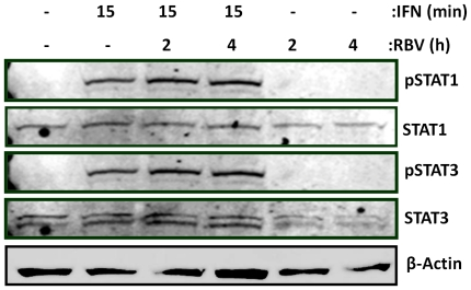 IFN-α induced STAT1 and STAT3 phosphorylation is enhanced in the presence of Ribavirin. Lysates from Huh7 hepatocytes treated with IFN-α for 2 h, Ribavirin for 2 h or both for 2 h were immunoblotted for pSTAT1 and 3 and reprobed for their protein counterparts and β-actin loading control (data representative of three independent experiments).