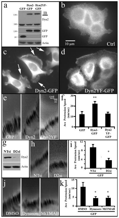 Lamellipodia formation and dynamics in pancreatic tumor cells are dependent upon Dyn2 expression and phosphorylation (a) Western blot analysis of stable BxPC-3 cell lines expressing either GFP alone, Dyn2-GFP, or Dyn2Y(231,597)F-GFP. (b-d) Control BxPC-3 cells stained for cortactin (b) grow in tight clusters and appear non-motile, while stable lines expressing Dyn2-GFP (c) exhibit numerous dynamic lamellipodia. (d) In comparison, mutant Dyn2Y(231,597)F-GFP expressing cells appear loosely clustered with some motile morphology. (c-d) show GFP fluorescence of the Dyn2-GFP and Dyn2Y(231,597)F-GFP. (e) Kymographs generated from movies of the lamellipodia of BxPC-3 stable cells showing the rapid protrusion rate of lamellipodia in cells expressing WT Dyn2-GFP, relative to cells expressing GFP or Dyn2Y(231/597)F -GFP. (f) Average lamellipodia protrusion speed calculated from more than 11 cells per cell line based on collected kymographs shown in (e). (g) Western blot on lysates from BxPC-3-GFP cells treated with non-targeting siRNA (NTsi) or Dyn2 siRNA (D2si). Kymographs (i) and quantitation (i) showing reduced lamellipodia extension following Dyn2 knockdown. Kymographs (j) and quantitation (k) showing lamellipodia extension of BxPC-3-GFP cells following treatment with DMSO or <t>dynamin</t> inhibitors <t>Dynasore</t> (80 μM) or MiTMAB (20 μM). Error bars represent S.E.M. Student's t-test was used for statistics (** represents p