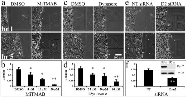 Dynamin function is required for cell migration during wound healing Confluent monolayers of the motile pancreatic cancer cell line Panc04.03 were wounded and stimulated with 50 ng/mL EGF in the presence or absence of the indicated doses of the dynamin inhibitory compounds MiTMAB (a, b) or Dynasore (c, d), or after treatment with non-targeting (NT) or Dyn2 (D2) siRNA (e, f). Phase images of cell monolayers treated with DMSO (a,c), 20 μM MiTMAB (a), or 80 μM Dynasore (c) at 1 and 5 hrs post-EGF stimulation. Increasing the dosage of either drug resulted in a dose-dependent reduction in cell migration, contributing to slower wound closure. Similarly, depletion of Dyn2 by siRNA significantly reduced cell migration speed (e, f). Efficient knockdown of Dyn2 is shown in the inset in panel (f). The average speed of the wound edge from 3 experiments are shown. Error bars represent S.E.M. Student's t-test was used for statistics (** represents p
