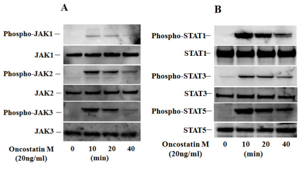 Phosphorylation of JAKs/STATs in OSM-treated RA-FLS . Quiescent RA-FLS were stimulated with OSM (20 ng/ml) for indicated times. Phosphorylation of JAKs (A; JAK1, JAK2, JAK3) and STATs (B; STAT1, STAT3, STAT5) were determined by Western blotting using phospho-specific or pan antibodies against JAK1, JAK2, JAK3, STAT1, STAT3 and STAT5. Three experiments were performed using different RA-FLS and a representative result is shown.