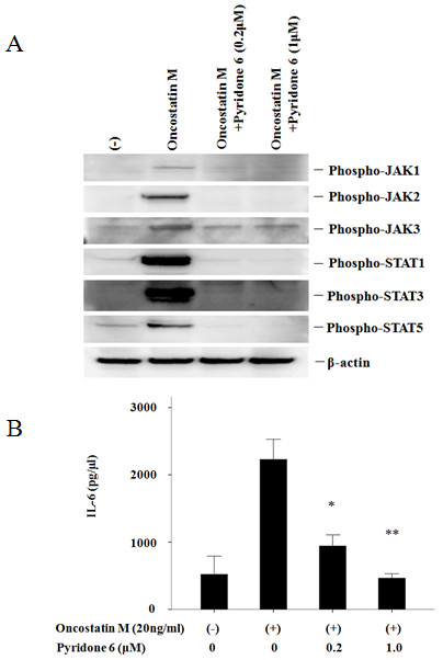 Pyridone 6 suppresses OSM-induced JAKs/STATs activation in RA-FLS; Pyridone 6 suppresses OSM-induced IL-6 synthesis in RA-FLS . (a) Quiescent RA-FLS were pretreated with vehicle (DMSO -) or pyridone 6 for 2 hours, then stimulated with OSM (20 ng/ml) for 20 minutes. Cellular lysates were subjected to Western blotting using phospho-specific antibodies against JAK1, JAK2, JAK3, STAT1, STAT3 and STAT5. Two experiments were performed using different RA-FLS and a representative result is shown. (b) Quiescent RA-FLS were pretreated with vehicle (DMSO, -) or pyridone 6 for two hours, then stimulated with OSM (20 ng/ml) for 24 hours. IL-6 protein in the conditioned media was determined by ELISA. The data were expressed as the mean ± SD of two independent experiments. * P