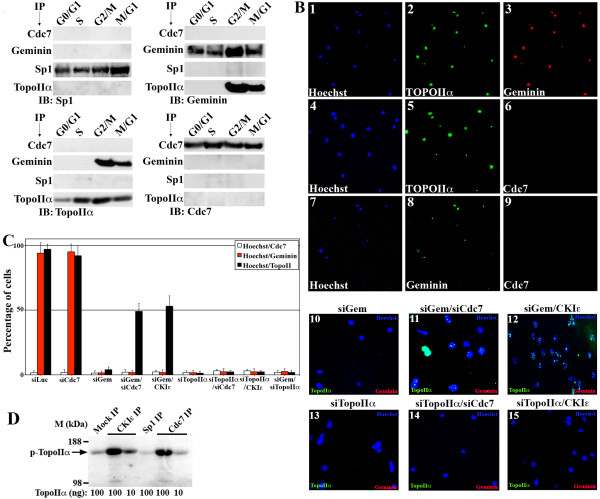 Geminin interacts with TopoIIα on chromosomes in HME cells . (A) HME cells synchronized in G 0 /G 1 , S, G 2 /M and M/G 1 were sonicated and immunoprecipitated with the indicated antibodies, followed by immunoblotting with the indicated antibodies. (B) HME cells treated with etoposide (10 μM, overnight) were then collected and processed for analysis using trapped in agarose DNA immunostaining (TARDIS) assay. Shown are examples of cells costained with Hoechst 33258 blue, TopoIIα and geminin antibodies (1 to 3), costained with Hoechst 33258 blue, TopoIIα but not Cdc7 antibodies (4 to 6) or costained with Hoechst 33258 blue, geminin but not Cdc7 antibodies (7 to 9). Geminin-silenced HME cells (10), plus cell division cycle 7 silencing (siCdc7) (11) or plus casein kinase Iε (CKIε) overexpression (12) are shown. TopoIIα-silenced HME cells (13) plus Cdc7-silenced (14) or plus CKIε overexpression (15) are also shown. (C) Quantification of cells costained with Hoechst 33258 blue and Cdc7 (white bars), geminin (red bars) or TopoIIα (black bars) in TARDIS assays 72 hours after control, Cdc7, geminin, TopoIIα, geminin silencing and Cdc7 silencing (or CKIε overexpression); geminin and TopoIIα silencing; or TopoIIα silencing and Cdc7 silencing (or CKIε overexpression). Values presented are means ± SD. ** P ≤ 0.01. (D) In vitro kinase assay performed on purified TopoIIα using CKIε or Cdc7 immunoprecipitated from HME cells.
