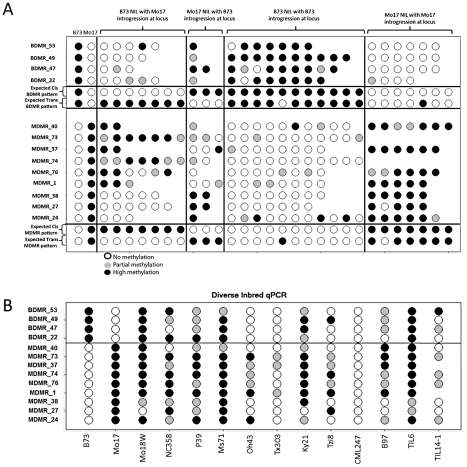 """Variable DNA methylation patterns in near-isogenic lines and diverse inbreds. (A) The relative DNA methylation levels in selected near-isogenic lines was tested by digestion with the methylation dependent restriction enzyme MspjI followed by qPCR. Different subsets of NILs were selected and analyzed for each of 13 DMRs. The first two columns show the data from B73 and Mo17. Open circles reflect low methylation levels and black circles indicate high methylation levels. Intermediate methylation levels are indicated by gray color. The next group of 2–7 genotypes show the data from NILs that have B73 as the recurrent parent ( > 95% of the genome) and have introgression of the Mo17 haplotype in the region containing the DMR. The variable number of genotypes tested reflects the fact that some DMR loci are have more NILs with an introgression than others. The next group of 1–3 genotypes are NILs that are primarily Mo17 but have B73 introgressed at the DMR. The next two groups provide """"control"""" genotypes of B73-like or Mo17-like NILs that do not have an introgression at the DMR. The expected patterns for cis (local) inheritance of DNA methylation or trans (unlinked) control of DNA methylation are shown. Note that the expected pattern for trans control would include a small number of genotypes with the methylation pattern from the introgressed genotype in cases where the trans-acting locus is introgressed. (B) The same type of assays were performed on a panel of 12 diverse inbred genotypes, including two inbred teosinte lines, to monitor the frequency for the hyper- and hypo-methylated states."""