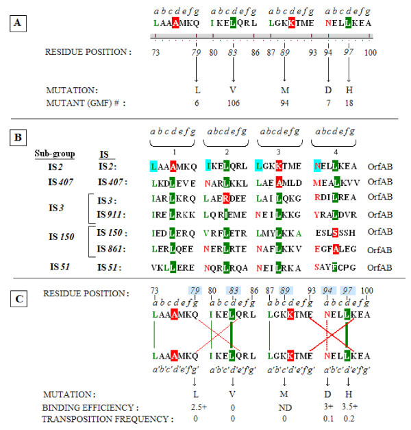 Analysis of the coiled coil domain in IS 2 OrfAB aligned with similar domains in the IS 3 family . (A) The coiled coil sequence in IS 2 identified by the PCOILS analysis of coiled coils [ 57 , 58 ] annotated to show the four putative heptad repeats of a leucine zipper-like motif. Italicized letters a to g represent the repeated positions within each heptad. The critical d positions which favor hydrophobic leucines are highlighted in green (or in red for a non-canonical amino acid). The a -located buried asparagine (N94) is shown in red while green lettering identifies the three canonical a -located hydrophobics. The five randomly induced mutations are indicated by arrows. The corresponding GMF mutant strain is listed beneath each mutation. (B) Alignment of the coiled coil domains of seven members from the five principal subgroups of the IS 3 family showing their relationships to the putative heptads of a leucine-zipper motif. Annotation is as described in part A but for the IS 2 sequence the a positions are highlighted in aqua. (C) Analysis of the potential of the coiled coil sequence in IS 2 to function as a leucine zipper and the effect of mutations recovered within the motif on that function. The data suggest that the sequence which fails the 2ZIP test for a leucine zipper [ 59 ] may indeed have that function. Stabilization by the two d -located leucines is indicated by vertical bold green lines, by the a -located hydrophobics by narrow green lines and by the buried asparagine by a vertical broken red line. Weak salt bridges between glutamines in the g and e locations in heptads 1 and 2 are indicated by a large narrow-lined red × and the canonical ionic salt bridges between the g and e -located E and K residues in heptads 3 and 4, are indicated by a large bold red X. Binding efficiencies (see Figure 6) and transposition frequencies (see Table 2) are listed below the schematic. Additional annotation is as described in part A. GFP: green fluorescent protein; IS: in