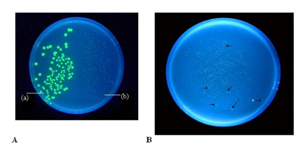 Comparative growth and fluorescence of colonies with the pGLO, pLL2522 and pLL 2524-XXX plasmids . (A) Contrasting growth patterns of colonies of XL1 Blue cells of E. coli (Stratagene Inc.) transformed with (a) the pGLO plasmid and (b) the pLL2522 (IS 2orfAB :: GFP ) plasmid. Cells were plated on lysogeny broth (LB) plus carbenicillin and arabinose, incubated at 37°C for 48 hours and irradiated with UV light. (B) XL1 Blue cells transformed with the ligation products generated by cloning PCR products recovered from the Genemorph II Random mutagenesis of IS 2orfAB DNA, into the Eco RI/ Nhe I sites of pGLO-ATG2. Colonies were generated as described above and viewed after 72 hours at 37°C. Arrows identify the faster growing more brightly fluorescing colonies, the vast majority of which contained plasmids pLL2524-XXX (IS 2orfAB :: GFP -GMF) with loss-of-function mutations in the orfAB gene. Isolated colonies at the periphery of the Petri dish (see white asterisk) occasionally produced false positives without mutations or with silent mutations, for example, A42T. PCR: polymerase chain reaction.