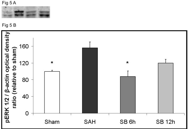 Effect of treatment with the raf inhibitor SB386023-b in cerebral arteries on the protein levels of <t>pERK1/2</t> after SAH . There are increased expressions of the pERK1/2 protein levels in the SAH compared to the sham operated rats. Treatment with SB386023-b after 6 h prevented the increased protein expression. Data are presented as the pERK1/2/β-actin mean optical density ratio relative to control. Data are expressed as mean ± s.e.m. * P ≤ 0.05.