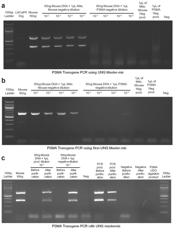 Primer-dimers and UNG degradation products can inhibit PCR amplification . a) The negative control reactions (water and PCR reagents, but no DNA) from the mouse mitochondrial DNA PCR and the PSMA transgene PCR were diluted from 10 -2 to 10 -5 . Both sets of dilutions were used to contaminate a PCR for the PSMA transgene. All reactions were amplified with the ABI Gene Expression Master-mix (containing UNG). b) The same experiment was conducted except the NEB Taq Polymerase and buffer was used (no UNG in the PCR for both generation of the primer-dimers and subsequent PCR). NEB Taq is less efficient than ABI Taq at amplifying the target for the lower band in the PSMA transgene PCR, however inhibition by contaminating primer-dimers is the same regardless of PCR mix. c) The PSMA transgene PCR product and negative control were amplified with the ABI Gene Expression Master-mix and gel purified to remove primer-dimers. These products as well as non-purified PSMA transgene PCR product and negative control (that contain primer-dimers) were used to contaminate a subsequent PSMA transgene PCR. The results indicate that amplification of legitimate PCR target is significantly inhibited by contamination with previously generated negative control reactions using the same primers, regardless of the presence or absence of UNG. It also indicates that the UNG degradation products can weakly inhibit amplification and the UNG degradation products and primer-dimers can completely inhibit PCR amplification.