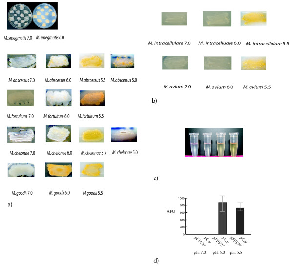 a) M. smegmatis , M. abscessus , M. fortuitum subsp. fortuitum , M. chelonae , and M. goodii were patched onto 7H10 agar media (Difco) at pH 7.0, 6.0, 5.5 or 5.0 to determine pigment production . b) M. avium intracellulare and M. avium subsps. avium were patched onto 7H10 agar media at pH 7.0, 6.0, and 5.5 to determine pigment production. c) From left to right: acetone only, M. smegmatis pH 7.0 extracted w/acetone, M. smegmatis pH 6.0 extracted w/acetone, M. smegmatis pH 5.5 extracted with acetone. d) Fluorescence specific activity units of M. smegmatis bearing empty reporter plasmid pFPV27 or the M. smegmatis probable carotenoid promoter upstream of gfp ( pCar ) at pH 7.0, 6.0 or 5.5.