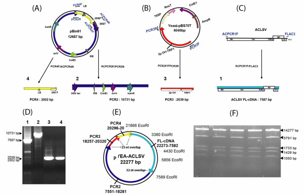 One-step assembly by homologous recombination in yeast of a ternary Yeast- Escherichia coli - Agrobacterium tumefaciens shuttle vector and simultaneous cloning of an ACLSV FL-cDNA to generate an infectious agroinoculable full-length viral cDNA clone . (A, B, C) Schematic representation of the strategy used to generate the four PCR fragments from which the construct is assembled by homologous recombination. The primers used are indicated by blue arrows near the respective PCR templates and are listed in Table 1. Regulatory elements are indicated by arrows of various colors. LB: T-DNA left border; 35S P: CaMV 35S promoter; 35S ter: CaMV 35S terminator; RB: T-DNA right border; ColE1: E. coli ColE1 origin of replication; oriV: A. tumefaciens oriV origin of replication; KanR: kanamycin resistance gene; 2μ Ori: yeast 2μ origin of replication; TRP1: yeast TRP1 selection gene. (A) Map of pBin61 from which are amplified the ~10.7 kbp fragment (PCR2, dark blue, carrying the 35S ter, the RB, the ColE1 and OriV replication signals and the KanR selection marker) and the ~2 kbp fragment (PCR4, yellow, carrying the LB and the 35S promoter) using respectively primer pairs ACPCR2F/PCR2R and PCR4F/ACPCR4R. (B) Map of Yeast-pBS70T used to amplify the ~2 kbp fragment (PCR3, red, carrying the yeast 2μ Ori-TRP1) using the PCR3F/PCR3R primer pair. (C) Genomic organization of ACLSV and position of the ACPCR1F/FLAC3 primer pair used to amplify the FL-viral cDNA (PCR1, light blue). (D) Non-denaturing 0.8% agarose gel electrophoresis of the four purified overlapping PCR products. (E) Schematic representation of the recombinant YEA-ACLSV ternary plasmid carrying the ACLSV FL-cDNA obtained by assembly by homologous recombination of the four fragments. The position of Eco RI sites used for restriction mapping of the plasmid is shown. (F) Non-denaturing 0.8% agarose gel electrophoresis of 5 independently obtained recombinant plasmids showing the expected Eco RI digestion pattern.