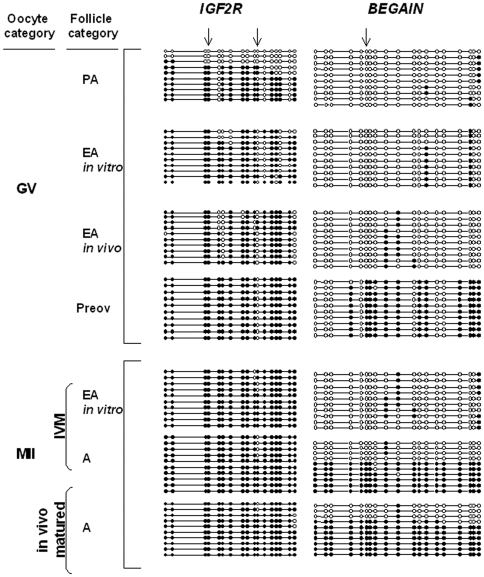 Methylation status of the IGF2R and BEGAIN genes in germ cells analyzed by bisulfite sequencing. An example of bisulphite sequencing analysis of examined CpGs in three imprinted genes. Each line represents an individual sequence molecule, with each circle corresponding to a separate CpG site (CpG). Black and white circles indicate methylated and unmethylated CpGs respectively. Arrows indicate the CpGs assayed by BstUI and HhaI enzymes, used in the combined bisulfite restriction analysis (COBRA). GV, germinal vesicle; MII, metaphase II; IVM, in vitro maturation; PA, preantral follicles; EA, early antral follicles; Preov, preovulatory follicles; A, antral follicles. Percentages of methylation were calculated by counting the number of methylated CpGs out of the total number of CpGs within the fragment amplified.