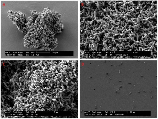 SEM survey of different P. aeruginosa cultures. SEM of A – Aggregate harvested from a 48-h old stationary culture. B – Details of a 3-day old biofilm grown in flow-cell. C – Details of 48-h old stationary aggregate. D – Planktonic cells (OD 600 = 0.5). Note that the single planktonic cells are difficult to fixate on the specimen during SEM preparation due to the small size (leads to few cells on the specimen).