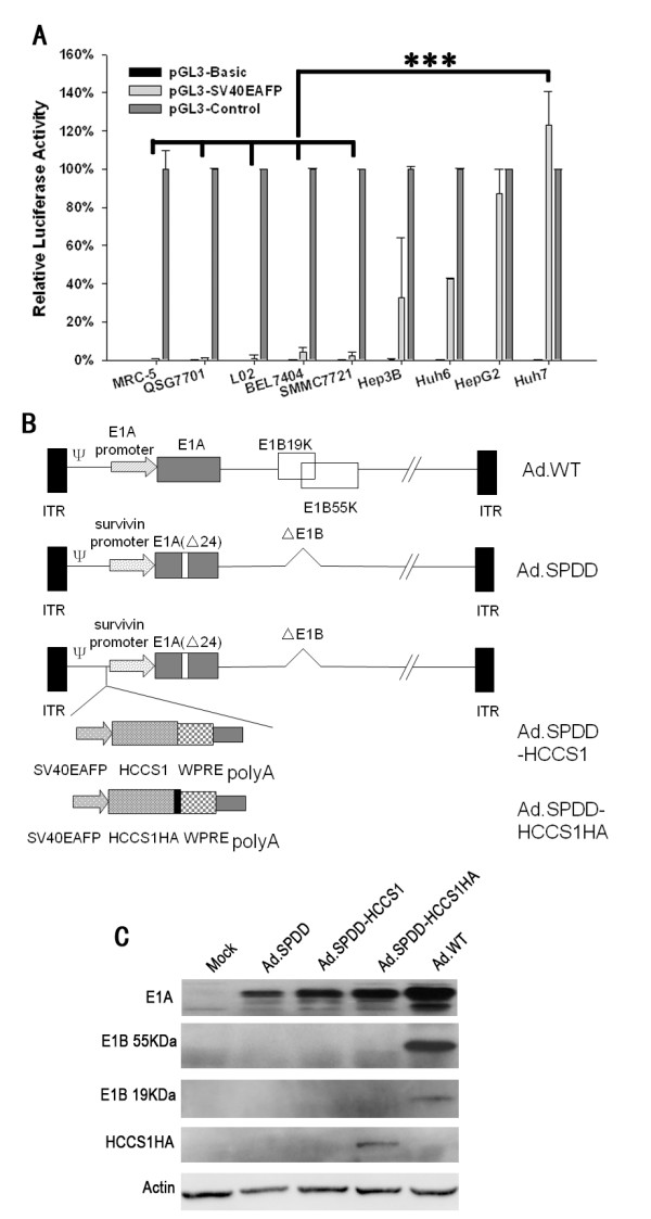 Construction and characterization of viruses . (A) Transcriptional activity of the AFP promoter in different cell lines. The AFP promoter with an SV40 enhancer was incorporated into pGL3-basic. The relative activity of pGL3-SV40EAFP to pGL3-Control in various cell lines are presented as the mean+SD (n = 3). (B) Schematic structure of the viruses Ad.SPDD, Ad.SPDD-HCCS1, and Ad.SPDD-HCCS1. ITR, inverted terminal repeat; ψ, viral packing signal. Ad.SPDD was quadruply modified compared to the wild-type adenovirus; the modifications were the deletion of E1B19K, the deletion of E1B55K, and the deletion of 24 bp of E1A, as well as deletion of the survivin promoter controlling E1A expression. HCCS1 or HA-tagged HCCS1 in a cassette was carried by Ad.SPDD. (C) Characterization of viruses by western blot analysis. Huh-7 cells were infected with the indicated viruses, and the levels of the expressed E1A, <t>E1B</t> <t>19KDa,</t> E1B 55KDa and HA-Tag were analyzed 48 hours post infection (h.p.i), with actin as loading control. (***: P