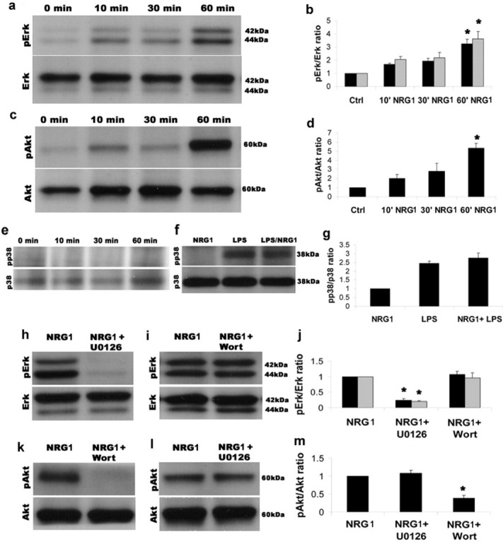 NRG1 treatment to microglial cells induced phosphorylation of ERK1/2 and Akt without activating p38MAPK. a and b : Addition of NRG1 (10 nM) to resting microglial cells induced the phosphorylation of ERK1/2 as assessed by Western Blots. A representative membrane for one experiment is shown in a . In b we show the time-course of ERK1 (black bars) and ERK2 (grey bars) phosphorylation after NRG1 treatment (ratio of phospho-ERK over total ERK). There was a significant increase in ERK1 and 2 phosphorylation after 60 min of NRG1 treatment compared with resting state or control (ERK1: control versus 60 min NRG1 treatment P = 0.02 one-way ANOVA on ranks, ERK2: control versus 60 min NRG1 treatment P = 0.003 one-way ANOVA on ranks, n = 4). c and d : In the same way we assessed Akt phosphorylation after NRG1 treatment. In (c) a representative membrane of one experiment is shown. In (d) we show the time-course of Akt phosphorylation (ratio of phospho-Akt over total Akt) after NRG1 treatment of three independent experiments. There was a significant increase in Akt phosphorylation after 60 min of NRG1 treatment compared with resting state or control ( P = 0.002, one-way ANOVA, Bonferroni post hoc test). e and f : NRG1 treatment in microglia did not elicit phosphorylation of p38MAPK ( P = 0.7, t -test, n = 3). In e we show the time-course after NRG1 treatment where no phosphorylation of p38MAPK was seen. We tested if NRG1 could enhance p38MAPK phosphorylation of LPS treated microglia but could not observe any increase in phospho-p38 when treating LPS primed microglia with NRG1. In (f) a representative membrane is shown, in (g) we show quantification of phospho-p38 over p38 of 3 independent experiments (NRG1 vs. LPS or LPS+NRG1 P = 0.003, LPS vs. LPS+NRG1 P = 0.5, one-way ANOVA, Bonferroni post hoc test, n = 3). In h – j we show that only the MEK inhibitor U0126 could block ERK1 and 2 phosphorylation (h) and phosphorylation of ERK remained the same when cells were treated with the PI3K inhibitor Wortmannin (i). Quantification of three independent experiments is shown in j (for ERK 1 and 2 the phospho/total ratio was significantly different between NRG1 treated cells compared with NRG1 plus U0126 P