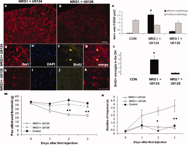 Inhibition of MEK1/2 could reverse NRG1-induced microgliosis and mechanical and cold pain-related hypersensitivity. NRG1 was administered intrathecally (4 ng given daily for 3 days) together with the MEK inhibitor U0126 (10 μg) or the inactive analogue <t>U0124</t> (10μg). a and b : Dorsal horn of animals treated with NRG1 + U0124 (in a) or NRG1 + U0126 (in b) immunostained with Iba1. Note that U0126 but not U0124 could prevent NRG1 associated increase in numbers of microglia with an effector morphology. In c quantification of this response is shown. In d – k we assessed proliferation (pulse labeling with BrdU) after injections (Iba1 is shown in red, DAPI in blue, BrdU in yellow and in the last panel merged images are shown). d–g: Dorsal horn microglia from a NRG1 + U0124 treated animal. h–k: Dorsal horn microglia from a NRG1 + U0126 treated animal. In ( l ) quantification of all BrdU-positive microglia in the dorsal horn is shown. Again, U0126 but not U0124 prevented NRG1 induced increase in microglial proliferation. Mechanical (shown in m ) and cold (shown in n ) pain related hypersensitivity developed after NRG1 injections which were reversed by U0126 but not by U0124. Scale bars: a and b: 100 μm, d–k: 50 μm. * P