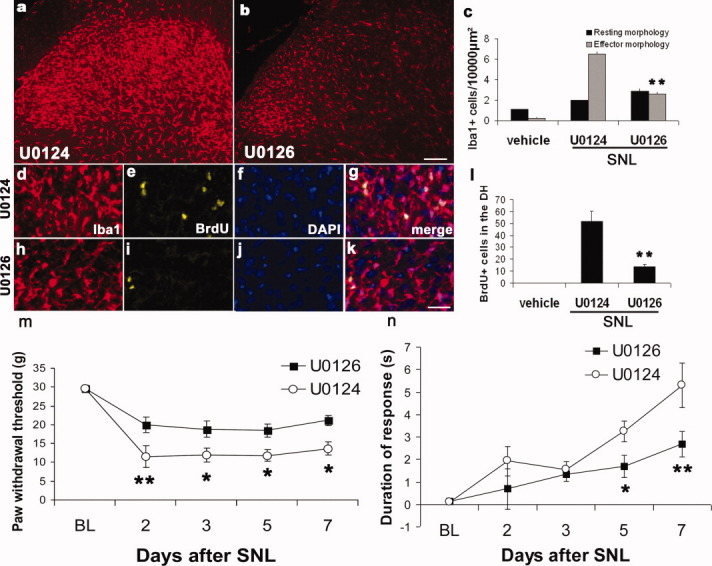 Microgliosis and mechanical and cold hypersensitivity following L5 SNL were significantly reduced by blocking MEK1/2 pathways. Animals underwent L5 SNL and were injected intrathecally daily with a 10 μg dose of the MEK inhibitor U0126 or its inactive analogue U0124. Three days after SNL animals treated with the inactive analogue U0124 demonstrated a dramatic increase in the number of dorsal horn microglia showing an effector morphology compared with naïve animals injected with saline. This microgliosis was significantly reduced when animals received the MEK inhibitor U0126. In ( a ) (SNL + U0124) and ( b ) (SNL + U0126) we show representative sections of the L5 spinal cord of these animals stained with Iba1 to label microglia. In ( c ) we show the quantification ( n = 4 per group, P