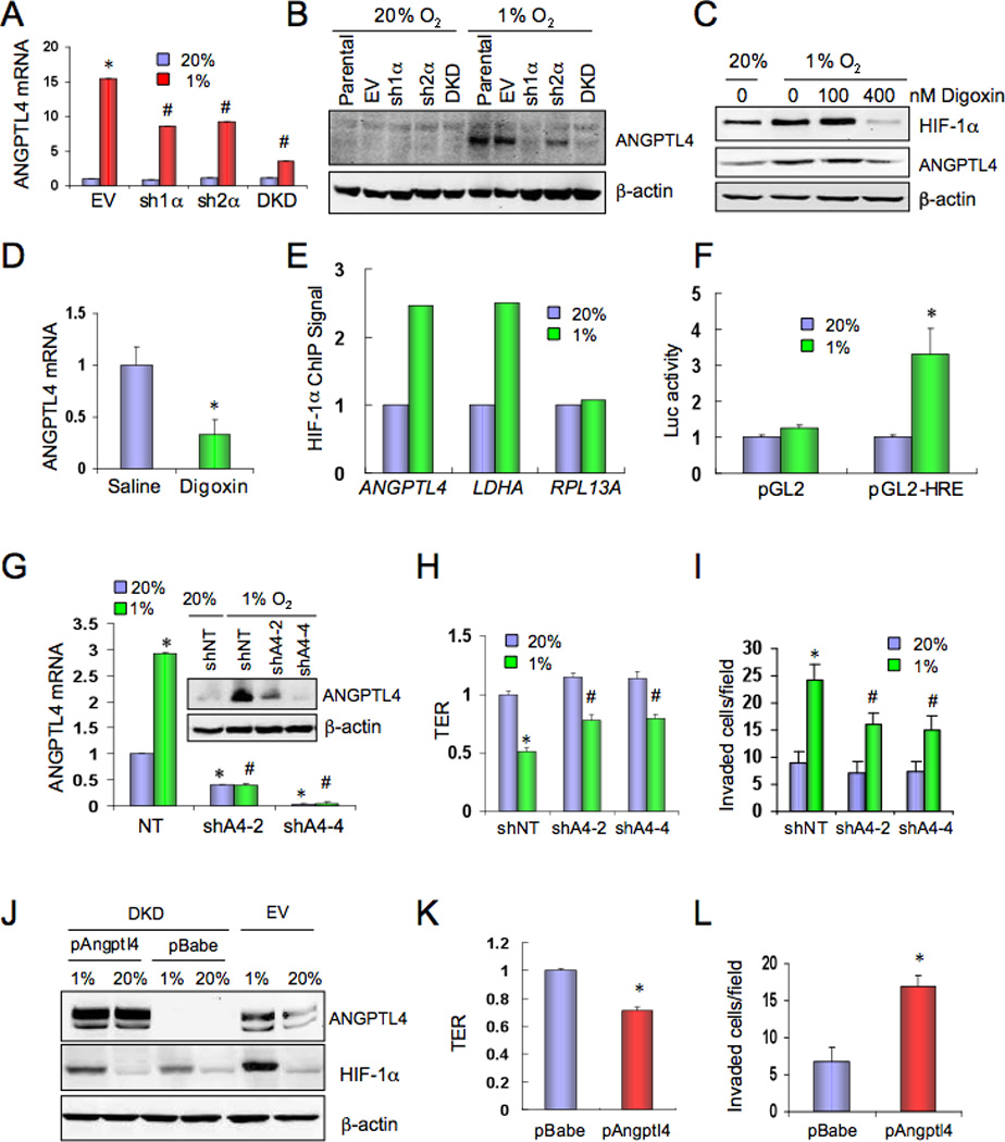 ANGPTL4 expression is regulated by HIF-1 and inhibits EC-EC interaction. ( A ) MDA-MB-231 subclones were cultured at 20% or 1% O 2 for 24 h. ANGPTL4 mRNA expression was determined by reverse-transcription (RT) qPCR, relative to EV-20% (mean ± SD, n = 3); *, P