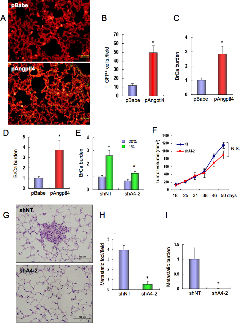 ANGPTL4 enhances breast cancer cell metastasis to the lungs. ( A–C ) pBabe and pAngptl4 subclones of <t>MDA-MB-231</t> DKD cells were injected into the tail vein of SCID mice. After 1 week, lung tissues were harvested, sections stained with isolectin B4, and GFP-expressing cancer cells ( A ) were counted under fluorescent microscopy ( B ). To determine the lung BrCa burden, lung DNA was analyzed by qPCR with GFP primers and the results (mean ± SEM, n = 5) were normalized to pBabe ( C ). *, P