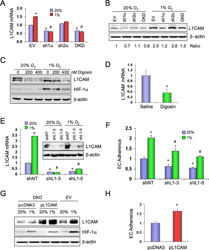 L1CAM is regulated by HIF-1 and stimulates EC-cancer cell interaction. ( A ) MDA-MB-231 subclones were cultured at 20% or 1% O 2 for 24 h and L1CAM mRNA was analyzed by RT-qPCR (mean ± SD, n = 3). *, P