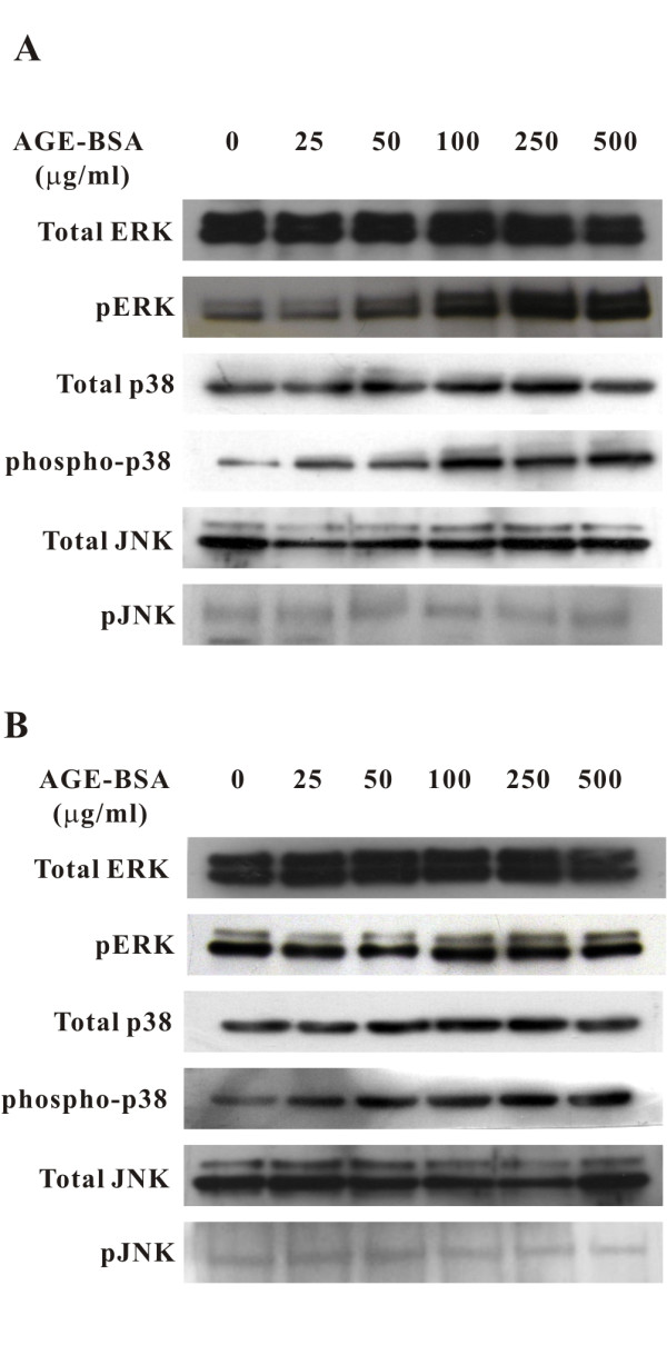 Activation of ERK and p38 MAPK but not JNK signaling pathways by AGE-BSA . Representative western blots of ERK, phosphorylated ERK, p38 MAPK, phosphorylated p38 MAPK, JNK, and phosphorylated JNK in cells treated with AGE-BSA for 2 (A) and 6 hours (B). Phosphorylation of ERK and p38 MAPK was activated dose-dependently but no such effect was seen for JNK.