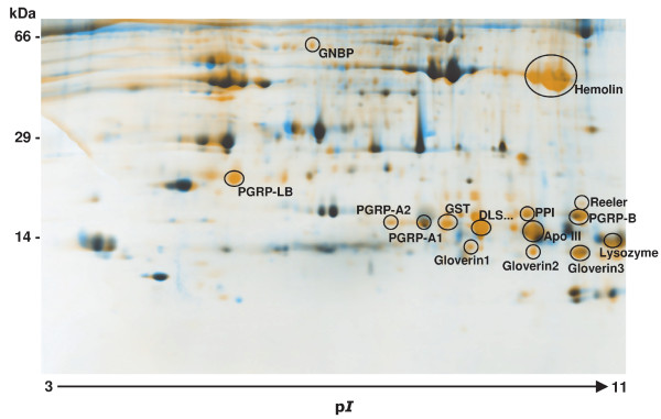 Two-dimensional SDS-Page map of immunized Galleria larvae . Hemolymph protein from untreated and LPS-immunized larvae was loaded on 24-cm pH 3 to 11 NL isoelectric focusing strips, followed by Tris-Tricine-SDS-polyacrylamide gel electrophoresis on a 15% gel. Image analysis enabled visualization of new or enhanced spots present in hemolymph samples from immunized larvae depicted in orange color. Putative identifications of immune-inducible proteins by MALDI-TOF analysis and according to our recent study [ 21 ] are depicted next to the respective spots. Molecular mass standards are indicated in kDa (left), and the pI range by an arrow. PGRP, peptidoglycan recognition protein; GNBP, Gram negative bacteria binding protein; GST, Glutathione-S-transferase; Apo III, apolipophorin III; DLS..., unknown protein.