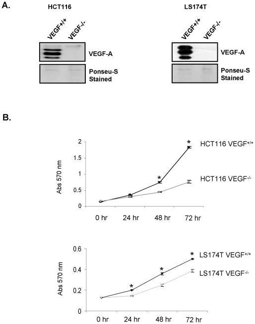 Effect of loss of VEGF expression on proliferation of CRC cells A. Loss of VEGF expression in CRC cells with deletion of VEGF alleles. VEGF-A levels in conditioned medium from HCT116 and LS174T VEGF +/+ and VEGF −/− cells were determined by western blot analysis. VEGF-A expression was undetectable in the VEGF −/− cells. Equalproteinloading of the gels was verified by Ponseu-S staining of the membranes. B. The growth rates of HCT116 and LS174T VEGF +/+ and VEGF −/− cells were assessed in terms of absorbance at 570 nm in an MTT assay. VEGF −/− cells showed significantly reduced proliferative activity compared with VEGF +/+ cells.