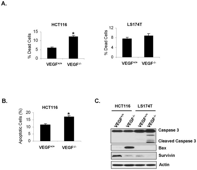 Effect of loss of VEGF expression on viability of CRC cells in-vitro A. Loss of VEGF expression led to increased spontaneous cell death. Cells were grown in 1% FBS medium for 48h, fixed and stained with PI. Cell death was assessed by flow cytometry. B. Increased spontaneous apoptosis in HCT116 VEGF −/− cells. Cells were grown in 1% FBS medium for 48h, and apoptosis was assessed by flow cytometry following Annexin V staining. C. Altered expression of apoptotic mediators in VEGF −/− cells. Whole-cell lysates of cells growing in 1% FBS medium for 48h were collected and analyzed for expression of caspase 3, cleaved caspase-3, bax and survivin by western blot analysis. Actin served as a loading control.