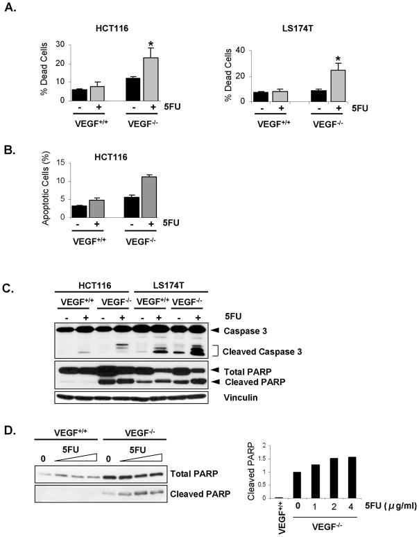 Effect of loss of VEGF expression on chemosensitivity and signaling in CRC cells A. Increased chemosensitivity of VEGF −/− cells to 5FU treatment. HCT116 and LS174T VEGF +/+ and VEGF −/− cells growing in 1% FBS medium were treated without or with 5FU for 48h, fixed and stained with PI; cell death was then assessed by flow cytometry. B. 5FU treatment led to increased apoptosis in HCT116 VEGF −/− cells. HCT116 VEGF +/+ and VEGF −/− cells growing in 1% FBS medium were treated without or with 5FU for 48h, then stained with Annexin V; apoptosis was then assessed by flow cytometry. C. 5FU treatment led to increased expression of proapoptotic mediators in HCT116 and LS174T VEGF −/− cells. Whole-cell lysates were collected from cells treated without or with 5FU for 48h and were analyzed for expression of caspase-3, cleaved caspase-3, PARP and cleaved PARP by western blot analysis. Vinculin served as a loading control. D. 5FU treatment led to increased PARP cleavage in HCT116 VEGF −/− cells in a dose-dependent manner. Whole-cell lysates were collected from HCT116 VEGF +/+ and VEGF −/− cells treated without or with increasing concentrations of 5FU for 48h; the lysates were analyzed for expression of PARP and cleaved PARP by western blot analysis. The bands for cleaved PARP were scanned, densitometrically quantitated using NIH Image J software and the resulting data wer e plotted (right panel.)