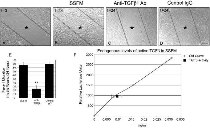 Endogenously secreted TGFβ1 promotes wound healing. HCFs were seeded on collagen in SSFM at 1×10 5 cells/ml in a 24 well dish. The next day cells were scratch-wounded and imaged ( A ) time zero, or incubated for 24 h with either ( B ) SSFM ( C ) 2 μg/ml anti-TGFβ1 antibody or ( D ) 2 μg/ml matched IgG control. Bar=200 μm, *inside lines denoting wounded area. E : Using T-Scratch software, percent cell migration into the wound margin at 24 h compared to time zero was calculated. Each condition was compared to SSFM, **p-value