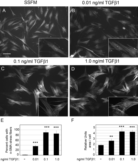 Increasing TGFβ1 concentration promotes fibrotic markers. HCFs were seeded on collagen in SSFM at 1×10 4 cells/ml on coverslips in a 24 well dish in ( A ) SSFM, ( B ) 0.01 ng/ml TGFβ1, ( C ) 0.1 ng/ml TGFβ1, or ( D ) 1.0 ng/ml TGFβ1. After 72 h ( A - D ) were immunostained for α-SMA. Bar=50 μm. For each condition, cells containing organized α-SMA stress fibers were counted ( E ) and using MetaMorph Analysis the relative cell area was quantified ( F ). For analysis greater than 100 cells per experiment were analyzed. Each condition was compared to SSFM, **p-value
