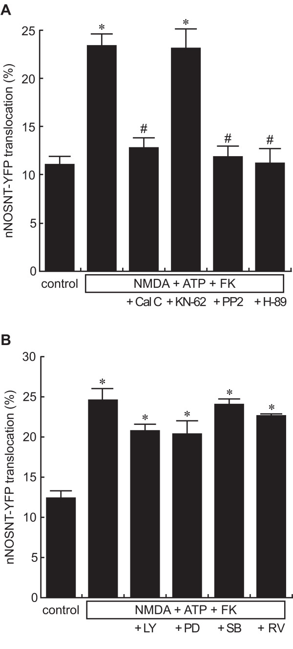 Signal pathways coupled to the ATP-induced nNOSNT-YFP translocation . Effect of kinase inhibitors on the translocation of nNOSNT-YFP induced by NMDA, forskolin, and ATP. After a 30-min incubation of NGF-differentiated PC12N cells with vehicle or with 100 μM NMDA, 100 μM ATP, and 10 μM forskolin (FK) in the presence of 0.1 μM calphostin C (Cal C), 1 μM KN-62, 1 μM PP2, 50 nM H-89, 25 μM LY294002 (LY), 25 μM PD98059 (PD), 20 μM SB203580 (SB) or 25 μM roscovitine (RV), the translocation of nNOSNT-YFP was observed by confocal microscopy and quantified as described in the legend for Figure 1B. Data are presented as the mean ± SEM (n = 4). * p