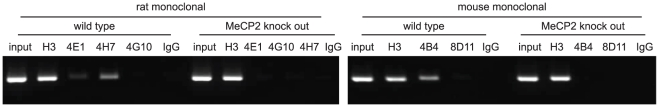 Chromatin immunoprecipitation. Chromatin immunoprecipitation assays were performed using mouse brain nuclear extracts obtained from wild type mice and MeCP2 knock out (KO) mice as negative control. The anti histone H3 antibody was used as a positive control of chromatin immunoprecipitation assay efficiency. IgG was used as a negative control of chromatin immunoprecipitation.