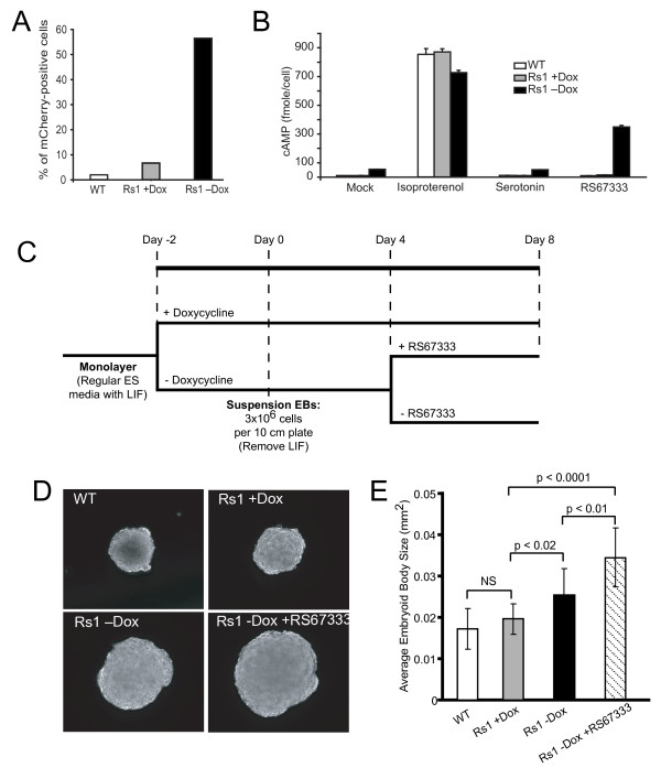 R26(EF1α-tTA/TetO-mCh-Rs1) function in mouse ES cells . (A) FACS analysis showing doxycycline-inducible mCherry expression in E14 mouse cells carrying the Exp-R26(EF1α-tTA/TetO-mCh-Rs1) construct. (B) Induction of Rs1 expression and treatment with the agonist RS67333 results in increased cAMP accumulation in mouse ES cells. Both basal and ligand-induced increases in cAMP are detectable. In addition, serotonin does not induce increased cAMP accumulation in either the wildtype or Rs1-expressing cells. (C) Schematic showing the differentiation protocol for making suspension EBs. (D) Expression and ligand activation of Rs1 during EB formation results in larger EB size. (E) Quantitation of EB size in the different culture conditions using ImageJ. A minimum of 114 EBs were measured for each condition. The analysis was performed on three separate EB differentiation experiments with similar results. Error bars represent average +/- 1 SD.