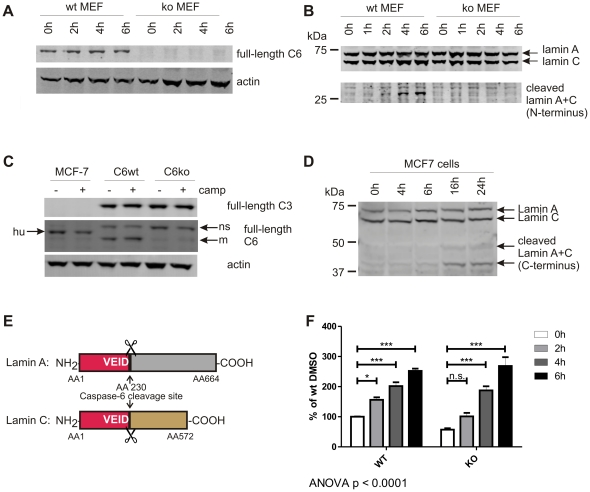 VEID, but not lamin A+C, is cleaved in the absence of caspase-6. A: Caspase-6 protein (full-length, 32 kDa) is detected in MEFs generated from C6wt, but not C6ko mice. B: Endogenous lamin A protein (70 kDa) is cleaved in wt, but not C6ko MEFs after staurosporine stress for 4 h or longer. The antibody cross-reacts with full-length lamin C (60 kDa), and the cleaved band at 28 kDa has the same size for both lamin A+C (lower panel). C: MCF-7 cells express caspase-6, but not caspase-3 protein, whereas both C6wt and C6ko MEFs contain both caspases. hu: human, m: mouse, ns: non-specific band. D: MCF-7 cells were stressed with 5 µM camptothecin for different amounts of time and the cleavage of endogenous lamin A and C proteins was monitored by Western blotting with antibodies antibodies #2031 (full-length lamin A+C) and #2032 (C-terminal fragments). E: Schematic representation of lamin A and C and the caspase-6 cleavage site at AA 230. The N-terminal fragments generated by caspase-6 cleavage (red) have the same size (28 kDa) for both lamin A+C. F: C6wt or C6ko MEFs were stressed with 50 nM staurosporine for different amounts of time, lysates were generated and analyzed for cleavage of VEID-Afc. C6wt cells show a significant increase in fluorescence at each timepoint, the fluorescence signal obtained from C6ko lysates only reach a statistically significant difference from baseline after 4 h. C6ko MEFs stressed with staurosporine for 4 h or more show the same levels of VEID proteolysis as wt cells. Error bars are the SEM of N = 3 of 4 independent experiments. Statistical significance was assessed by 2-way ANOVA and post-hoc Bonferroni comparisons: *** p