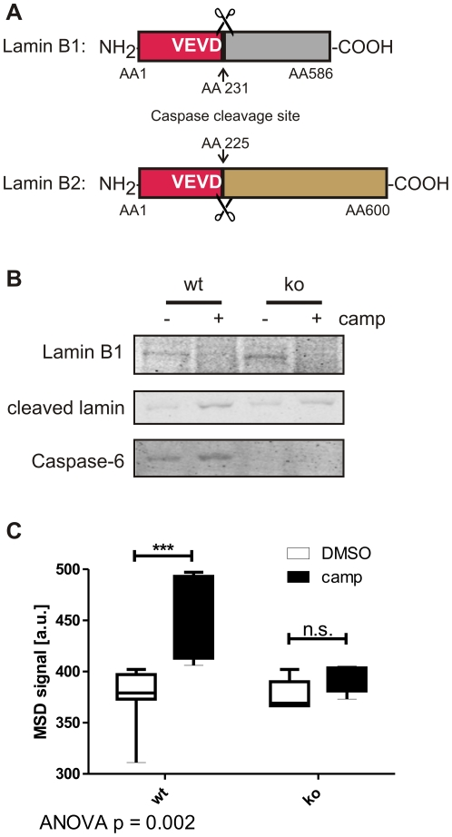 Cleavage of lamin B1 in primary neuronal cultures is not caspase-6 specific, but spiking with lamin A provides a specific readout. A: Lamins B1 and B2 differ from lamins A and C in their caspase cleavage site (VEVD versus VEID, respectively). B: Lamin B1 is cleaved after camptothecin stress in primary cortical neuronal cultures derived from C6wt and C6ko mice. C: Spiking with lamin A protein results in an increased ELISA signal in lysates from camptothecin-stressed C6wt, but not C6ko neurons. Boxes represent the 25 th –75 th percentile, whiskers represent the minimum and maximum. Data from 5 (C6ko) and 7 (C6wt) separate cultures are shown. Statistical significance was assessed by 2-way ANOVA and post-hoc Bonferroni comparisons: *** p