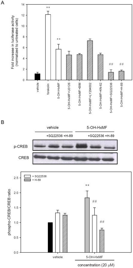 Effects of the molecular inhibitors on the 5-OH-HxMF -mediated CREB activation. ( A ) PC12 cells were transfected with a CRE-mediated luciferase reporter construct and Renilla luciferase control plasmid for 24 h. Following transfection, cells were pre-treated for 30 min with inhibitors 10 µM U0126, 2.5 µM BIM, 20 µM LY294002, 10 µM KN-62, 500 µM SQ22536, 10 µM H-89 or vehicle (0.1% DMSO), followed by exposure to 5-OH-HxMF (20 µM) for 8 h. Forskolin (2 µM)-treated transfected cells as a positive control for CRE-luciferase reporter assay. The intensity of the luciferase reactions measured in the lysates of the transfectants was normalized to their Renilla luciferase control activity. ( B ) PC12 cells were seeded on poly-L-lysine-coated 100 mm dishes in normal medium for 24 h and then shifted to low serum medium (1% HS and 0.5% FBS) for further 24 h culture. Cells were treated with inhibitor SQ22536 or H-89 for 30 min prior to exposure of vehicle (0.1% DMSO) or 5-OH-HxMF (20 µM) for 60 min. Phosphor-CREB (p-CREB) and CREB were analyzed by Western blotting as described in Materials and Methods . The immunoblot experiments were replicated at least three times and a representative blot was shown. Normalized intensity of p-CREB versus CREB is presented as the mean ± SD of three independent experiments. ** p
