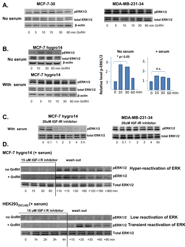 The level of p-ERK1/2 is influenced by integration of signaling from multiple cell surface receptors, blocking the response to activated GnRH receptor . A. <t>Triptorelin</t> did not affect levels of p-ERK1/2 in serum-starved MCF-7-30 or MDA-MB-231-34 cells. B. Treatment of stably transfected cells with 100 nM Triptorelin transiently elevated levels of phosphorylated ERK1/2 (p-ERK1/2) in serum-starved MCF-7-30-7hygro14 cells but not in the presence of serum. Bar graphs indicate effect of no serum vs with serum on ERK response in MCF7hygro14, statistically significant for no serum, p