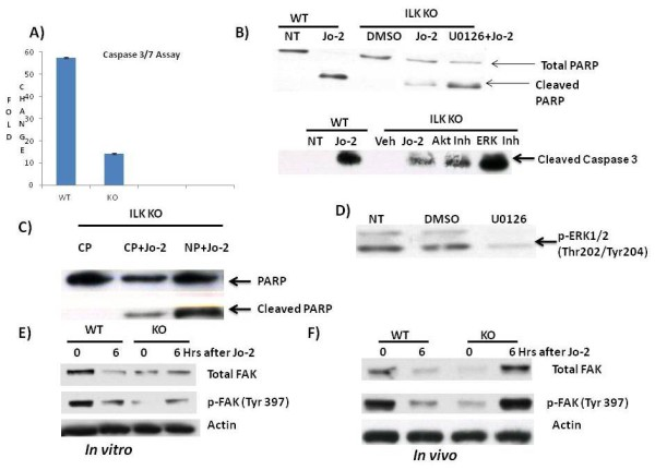 ILK KO hepatocytes are protected against Jo-2 induced apoptosis in vitro . A) Caspase 3/7 activity at 6 h after treatment of WT and ILK KO hepatocytes with Jo-2 (0.5 μg/ml) and Actinomycin D (0.05 μg/ml). Fold change is the ratio of luminescence value of treatment group with its corresponding no treatment group. B) Effect of ERK1/2 inhibition using a MEK inhibitor U0126 (20 μM). Representative Western blots of cleaved caspase and PARP 6 h after Jo-2, vehicle or Jo-2+inhibitor administration. (Akt Inh: Akt inhibitor LY-294002, ERK Inh: ERK inhibitor U0126) C) Representative Western blots showing inhibition of phosphorylation of ERK1/2 by U0126 in ILK KO hepatocytes after 6 h after treatment with U0126. D) Representative Western blots of PARP after inhibition of NFκB using a synthetic peptide 6 h after treatment with Control peptide (CP), CP+Jo-2 and NP+Jo-2 (NFκB peptide). (CP: control peptide, NP: NFκB peptide). E) Total FAK and p-FAK at 0 and 6 h after Jo-2 administration in vitro. F) Total FAK and p-FAK at 0 and 6 h after Jo-2 administration in vivo.