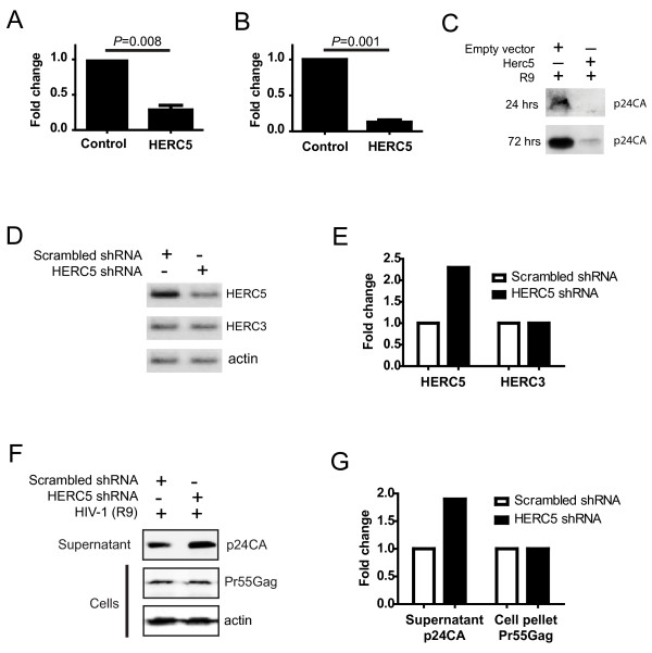 HERC5 restricts a late stage of HIV-1 replication . A , Inhibition of HIV-1 particle production. 293T cells were co-transfected with pR9 and either empty plasmid or pHERC5. Twenty-four hours after transfection, infectious HIV-1 virions released into the supernatant were quantified using GHOST(3) indicator cells. B , Inhibition of HIV-1 replication. HOS-CD4/CXCR4 cells were co-transfected with plasmids encoding a replication-competent HIV-1 provirus (R9) and HERC5 or an empty vector control. HIV-1 virions released into the supernatant were pelleted 72 hours after transfection and analyzed by Western blotting using anti-p24CA antibody. p24CA levels were quantified densitometrically. C , Representative Western blot using anti-p24CA of HIV-1 particles released into the supernatant. Data shown are the average of at least two independent experiments performed in triplicate. D-G , 293T cells were co-transfected with pLKO.1/scrambled shRNA or pLKO.1/HERC5 shRNA and pR9. Twenty-four hours after transfection, HIV-1 particles released into the supernatant, cellular RNA and cellular protein were isolated. HERC5, HERC3 and β-actin RNA were detected by reverse transcription polymerase chain reaction (RT-PCR) ( D ) and quantified densitometrically ( E ). HIV-1 particles released into the supernatant and intracellular Pr55Gag protein were detected by Western blotting using anti-p24CA ( F ) and quantified densitometrically ( G ). Data shown are representative of at least two independent experiments.
