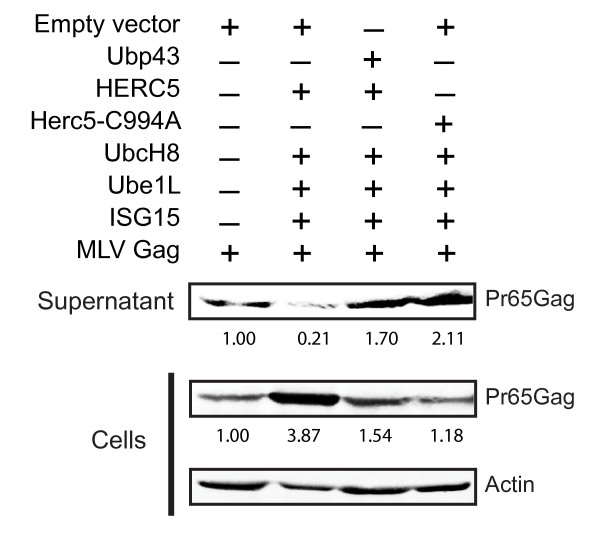 HERC5 restricts MLV Gag particle production . U2OS cells were co-transfected with pMLV-Gag and either empty plasmid, pHERC5 + CS, or pHERC5-C994A + CS with or without pUbp43. Gag particles released into the supernatant and intracellular Gag protein expression were analyzed by quantitative Western blotting using anti-MLV antisera or anti-β-actin 48 hours post-transfection. Numerical values on the blots display the densitometric quantification of the specified bands after normalization with β-actin levels.